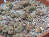 DSCF1475 (BobTravels) Tags: plant stone bob lithops lithop messem bobwitney