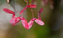 Red Pinkish Maple Seeds (Orbmiser) Tags: pink autumn red tree fall oregon portland maple nikon seeds d90 55200vr