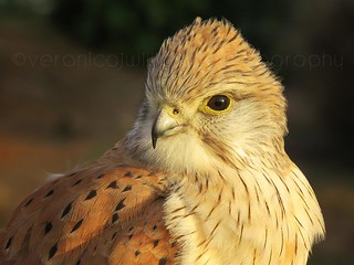 Kestrel, Kangaroo Island, South Australia