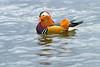 Mandarinand i Östersund (Erik Lindblom Photography) Tags: orange bird beautiful swimming colorful sweden feathers mandarinduck graceful jämtland gracious östersund badhusparken