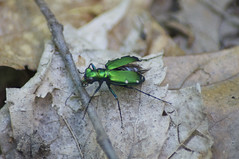 Jewel (Benam?) Tags: summer white green leaves garden insect legs metallic wing case spots twig schoepfle