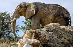 C2378-Elefante africano, tras la roca (Eduardo Arias Rábanos) Tags: elephant animals sex nikon sexo animales elefante tusk d300 sigean colmillo faunaafricana eduardoariasrábanos
