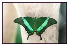 Papilio palinurus butterfly (fabriciodo) Tags: macro butterfly insect lepidoptera papillon borboleta mariposa swallowtail schmetterlinge papilio farfalle papilionidae lepidoptre sigma150 lepidotera nikond300s