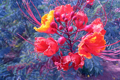 "Yellow & Red Desert flowers • <a style=""font-size:0.8em;"" href=""http://www.flickr.com/photos/34843984@N07/15547517222/"" target=""_blank"">View on Flickr</a>"