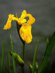 The Yellow One (http://fineartamerica.com/profiles/robert-bales.ht) Tags: iris plants flower water yellow river spectacular photography photo weeds blossom awesome fineart scenic peaceful flags idaho wetlands sensational inspirational vignette emmett magnificent springtime haybales naturephotography wildiris greetingcards rhizome yellowflag irispseudacorus monocot yellowiris irisfamily waterflag herbalremedy canonshooter herbaceousperennialplant idahophotography americanphotograph robertbales northamericanphotography irishumilis