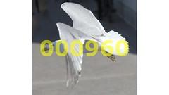 Flickr_000960 (mike_ho_htc) Tags: canada canon eos montreal seagull jose 5d gaviota markii larus arboleda delawarensis canonef24105mmf4lis josmarboledac blinkagain freedomtosoarlevel1birdphotosonly