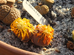 106 (BobTravels) Tags: plant stone bob lithops lithop messem bobwitney