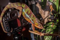 """""""Rubi"""" our Furcifer pardalis Chameleon (medbiker1965) Tags: vienna wien fotograf chameleon tier reptil rubi chamleon schnappschuss furciferpardalis  winterg"""