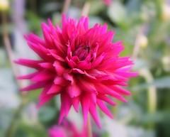 Flower for my love! (maria_450d) Tags: pink summer flower sweden rosa blomma sommar halland tjolöholm