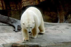Polar Bear at San Diego Zoo (GMLSKIS) Tags: zoo california sandiego sandiegozoo polarbear