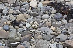 TjaldsEgg - Oystercatcher nest (ingolfssonvalur) Tags: nest egg eggs oystercatcher tjaldur haematopus ostralegus hreiur