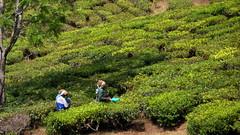 India - Kerala - Munnar - Tea Harvest - 107 (asienman) Tags: india mountains kerala hills teafactory teaplantation munnar teapicker asienmanphotography teaplantagens
