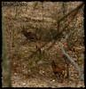 Cervi nel bosco - Majella - Abruzzo - Italy