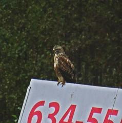 Buzzard By Numbers (Bricheno) Tags: glasgow rutherglen dalmarnock bird raptor birdofprey buzzard bricheno scotland escocia schottland cosse scozia esccia szkocja scoia