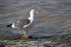 Yellow-footed Gull (kidbirder) Tags: