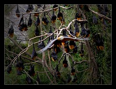 Fox Flying (Seeing Things My Way...) Tags: flyingfox bat negabat parramatta animal wildlife colony parramattaparkydney nsw australia australiananimals