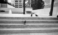 Pigeons. New York City. September, 2016 L_M6_16559 (erlin1) Tags: 35mm 2016 analog bw blackandwhite film leicam6 newyork nyc september newyorkcity ny usa m6v1 m6bw