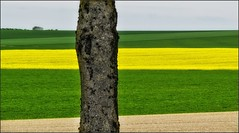 The Tree That Got in the Way (canuckguyinadarkroom) Tags: canola rapeseed grasses fields colours green yellow
