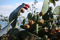 Cacti (mlcastle) Tags: california sanfrancisco sf sausalito marin cactus cacti