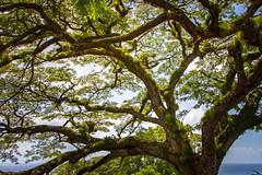 Tree of life (Notkalvin) Tags: tree oldtree bromeliads stkitts caribbean westindies notkalvin mikekline notkalvinphotography outdoor plant life nature greektowntrip