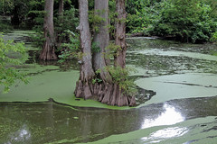 Indianola - Glitter Bayou (Drriss & Marrionn) Tags: bluestrail2014 indianola mississippi usa outdoor nature tree trees cypress cypresstrees bayou water landscape creek plant plants