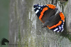 Red Admiral - teeny tiny depth of field (Vicktrr) Tags: malhamtarn yorkshire york fsc fieldstudiescentre sheep england british britain uk autumn orange red trees leaves roedeer deer hills dales redadmiral butterfly wild country countryside