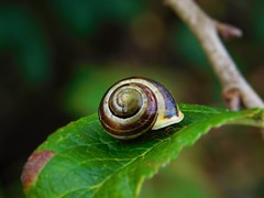 Shell (David_Blair) Tags: snail shell glasgow scotland forest park leaf leaves closeup landscape macro twigs branches tree trees