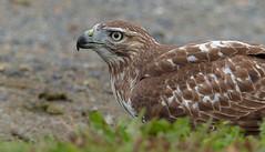 imm. red-tailed hawk (sttweston) Tags: fz200 e17ed