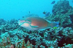 speeding bullet (BarryFackler) Tags: bulletheadparrotfish chlorurusspilurus uhu fish parrotfish cspilurus reef coralreef coral scuba sea southkona seacreature sandwichislands sealife sealifecamera water westhawaii barryfackler barronfackler bigisland biology bay being bigislanddiving 2016 ecology ecosystem tropical undersea underwater island organism outdoor ocean pacific polynesia pacificocean marinelife marinebiology marineecosystem marine nature vertebrate zoology marineecology konadiving creature animal aquatic diving dive diver hawaiicounty hawaii honaunaubay hawaiiisland honaunau hawaiianislands hawaiidiving kona konacoast life