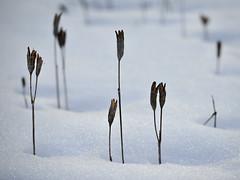 Survive (Marc Briggs) Tags: dsc63501bw seed pods seedpods snow yosemite yosemitevalley
