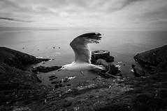 Berlengas (arsamie) Tags: portugal berlengas island black white seagull bird mouette ocean atlantic sea fort naval