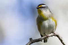Striated Pardalote 2016-08-14 (60D_2860) (ajhaysom) Tags: striatedpardalote pardalotusstriatus woodlandshistoricpark greenvale melbourne australia australianbirds canoneos60d sigma150600