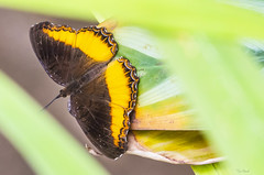 UNA FARFALLA   ---   BUTTERFLY   ---   MACRO (Ezio Donati) Tags: animali animals natura nature nikond810 farfalle butterfly africa cameroun foresta forest macro colori colors