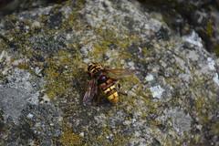 Milesia crabroniformis (esta_ahi) Tags: baixcamp syrphidae diptera insectos fauna capafonts tarragona spain españa испания milesia crabroniformis milesiacrabroniformis