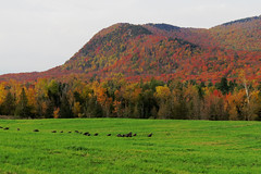 A flock of wild turkeys in Potton, Qubec (Ullysses) Tags: wildturkeys potton qubec canada autumn automne fallcolors easterntownships estrie cantonsdelest dindessauvages