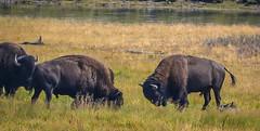 (LeseAnnKConn) Tags: bison yellowstonepark rut