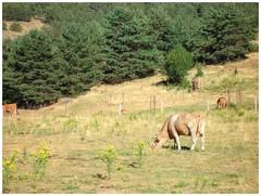Bovinos sueltos .. (margabel2010) Tags: animales mamferos bvidos bovinos vacas herbvoros paisajes paisajesrurales paisaje cercados vallas pastos conferas rboles sierra sierras guadarrama airelibre