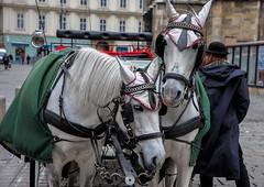 horses (Antareska :-)) Tags: horses animal urban streets nikon city trip nature stephansplatz riding travel