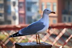 Larus michahellis (Ander Congil Ross) Tags: seagull larus michahellis kaio hankahoria girona city ciudad hiria animal hegaztiak birds aves canon 7d sigma 18250