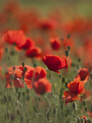 Nostalgie des beaux jours **---+°-° (Titole) Tags: poppies titole nicolefaton red buds challengeyouwinner 15challengeswinner