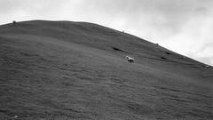 New Zealand (Stephen A. Wolfe) Tags: 35mm swolfe2000 adobelightroom agfa agfaapx400 canoscanfs2710 hobbiton hobbitonmovieset kodakhc110 leicam2 newzealand thehobbit zeisssonnar50mmf15zm blackandwhite exporttocopyright film httpstephenwolfephotography vacation landscape sheep