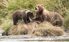 Yummy! (Rick Derevan) Tags: alaska kodiak bear brownbear kodiakbrownbear