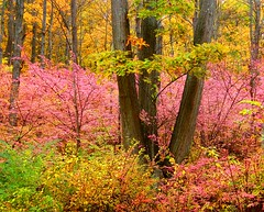Autumn's Pink Bush (Stanley Zimny (Thank You for 20 Million views)) Tags: pink bush tree autumn fall seasons yellow