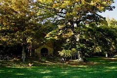 Golden Beeches (Franco Vannini) Tags: madonnadelfaggio tuscany toscana beech oak faggio quercia autunno goldenretrievers