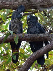 Red-tailed Black Cockatoo - Mother and young (zad53) Tags: cockatoo redtailedblackcockatoo