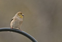 3533-1-American Gold Finch-Male-sm (torriejonvik) Tags: birds outdoors american goldfinch near feeders north vancouver