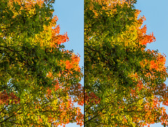 3D Fall #1 in The Deerings - 2016-11-05_02p (Paul and Nalva) Tags: nx500 samsungnx500 thedeerings stereography fallcolors