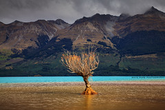 Still Standing Strong || GLENORCHY || NZ (rhyspope) Tags: nz new zealand queenstown glenorchy lake wakatipu rhys pope rhyspope canon 5d mkii nature tree water reflection alps mountains clouds natural south island