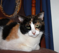 Wasabi (CatnessGrace) Tags: cats pets gatos katzen gatti animals