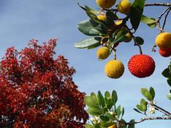 Strawberry Tree Autumn Berries (Sotosoroto) Tags: bellevue crossroads washington autumn tree foliage strawberrytree berry